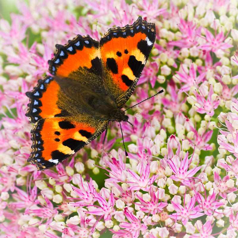 Small tortoiseshell butterfly or Aglais urticae on Sedum flowers stock image