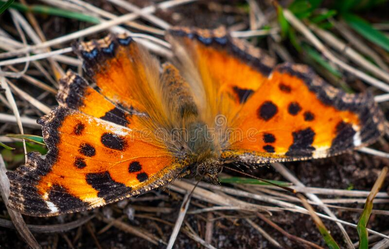 The small tortoiseshell butterfly close up portrait royalty free stock photography