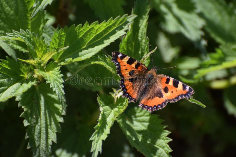 Small tortoiseshell butterfly resting on nettles with wings open stock photo