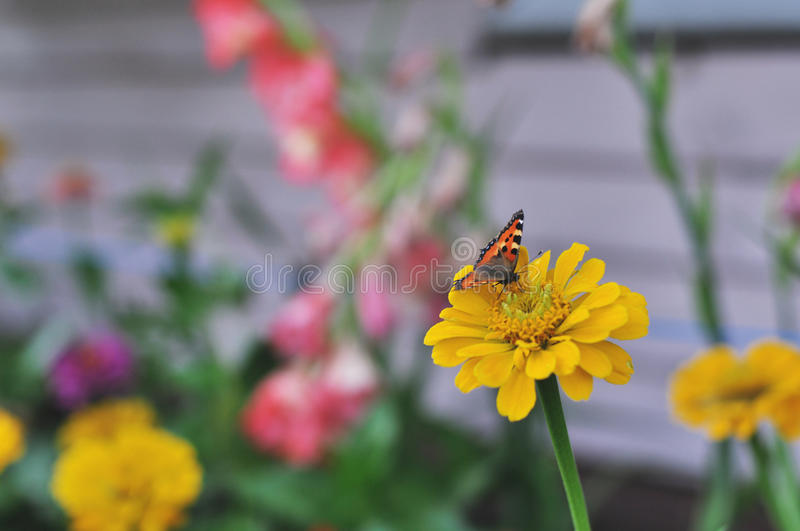 Small Tortoiseshell butterfly on Zinnia flower royalty free stock images