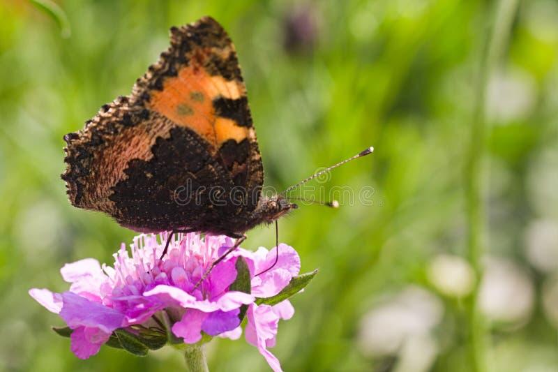 Small tortoiseshell drinking nectar on summerday stock image