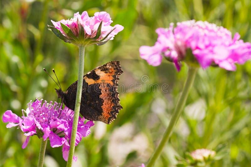 Small tortoiseshell drinking nectar on summerday stock photo