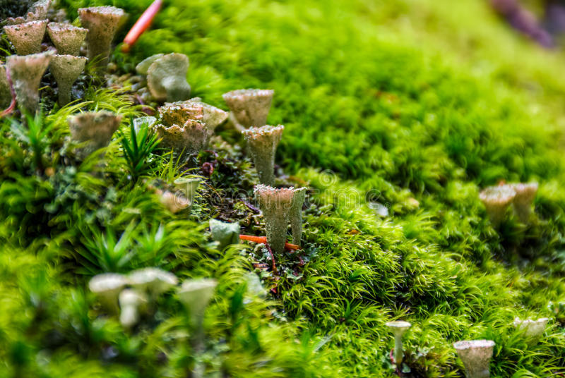 Small toxic mushrooms in the moss closeup. Beautiful but poisonous nature aliens stock images