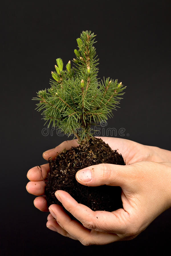 Small tree. Hands holding small tree seedling royalty free stock photos