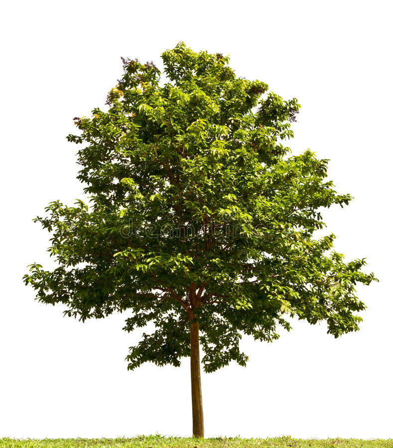 Small tree. Isolated on white background stock photography