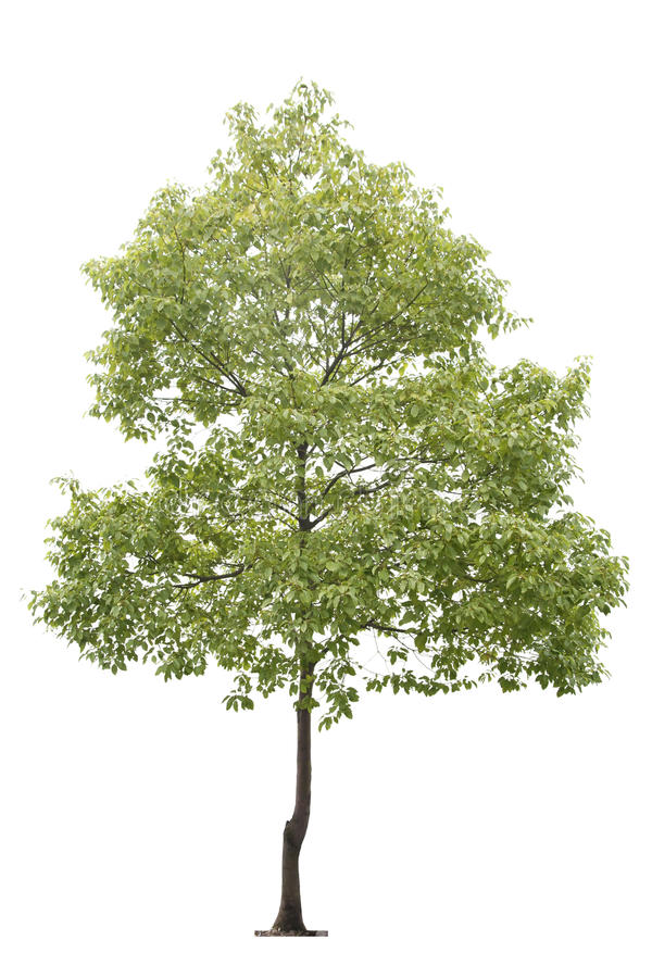 Small tree. Small camphor tree isolated on white stock photography