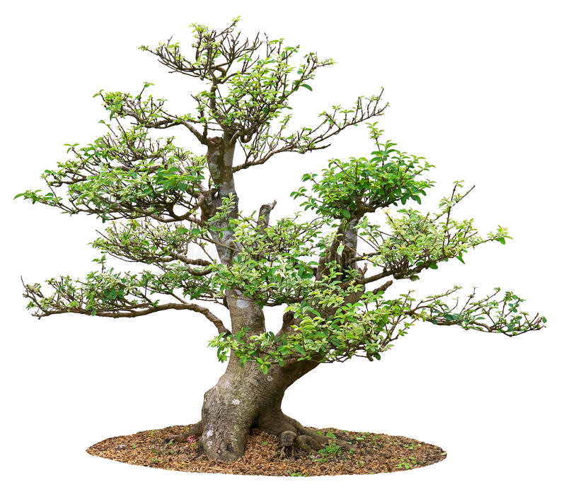 Small Tree. Isolated in white background stock image