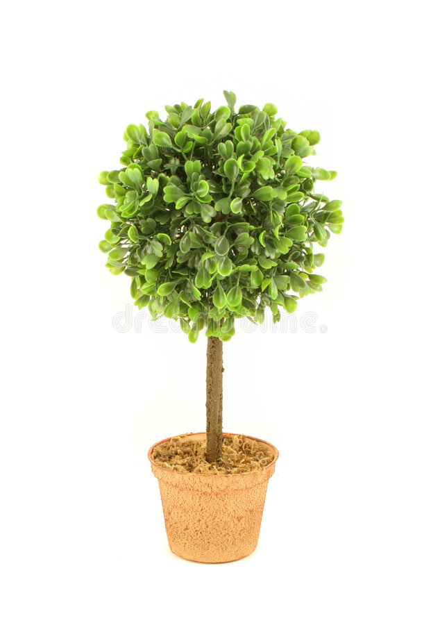 Small tree. Small decorative tree like plant on a white background royalty free stock image