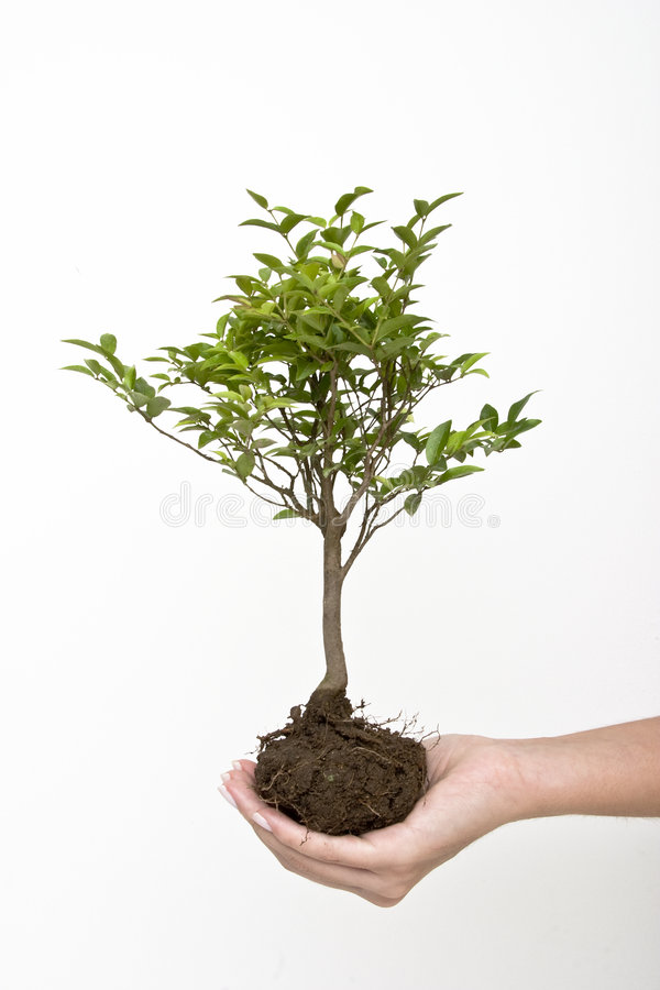 Small tree. Showing roots held by a female hand stock photo