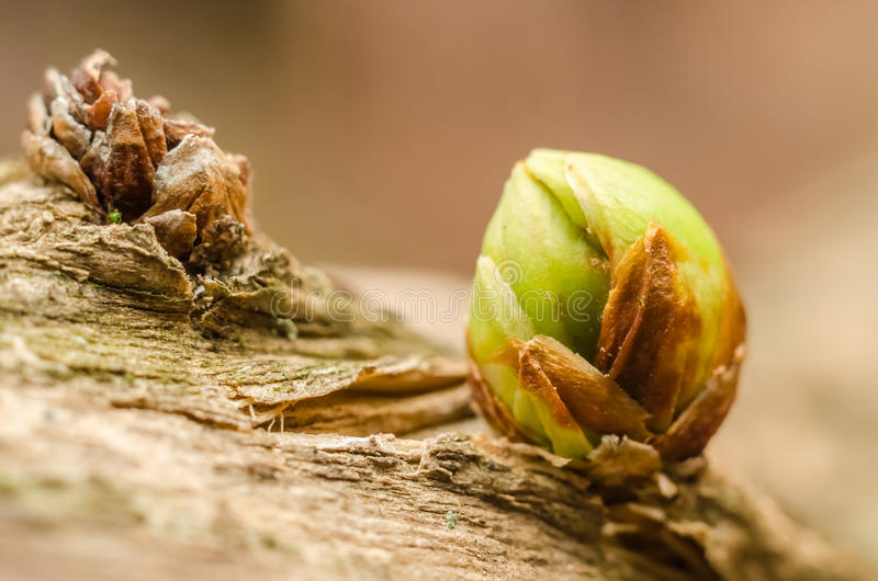 Small Tree Bud In Spring. Closeup Macro royalty free stock photo