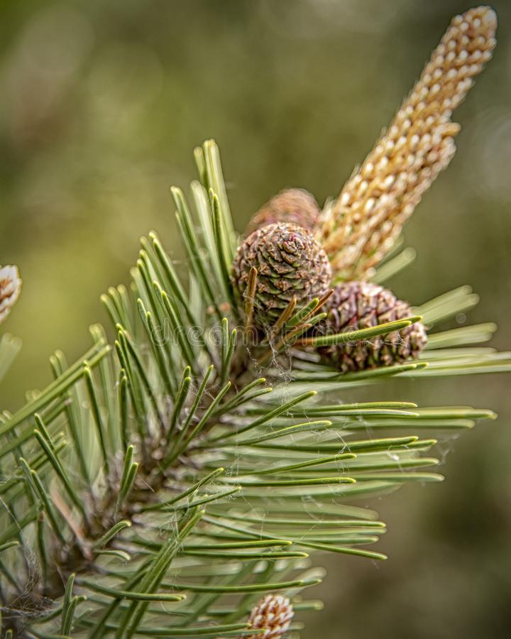 Small Tree Cones. Small conifer tree cones newly sprouted on a branch in the springtime stock image