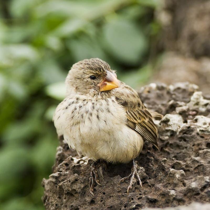 Small Tree Finch. (Camarhynchus parvulus), Galapagos Islands royalty free stock photo