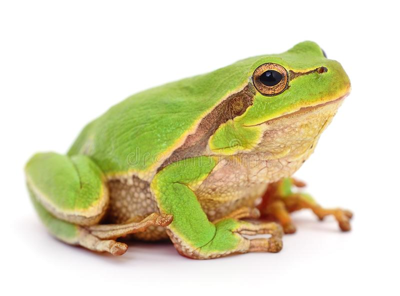 Small tree frog stock image