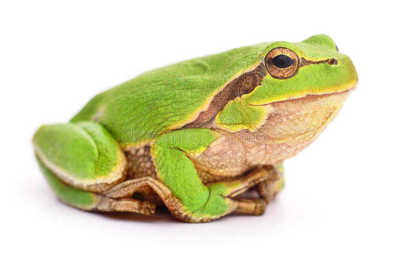 Small tree frog. Small tree frog on white background royalty free stock photography