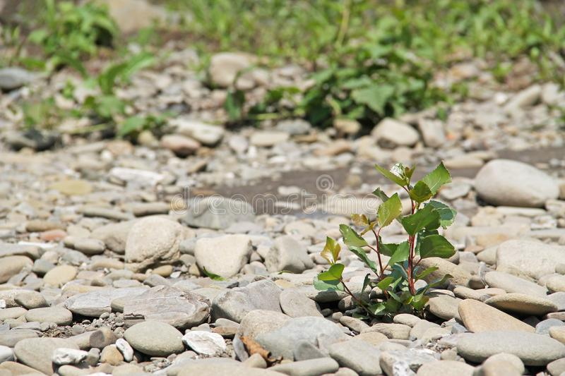 Little tree. Small tree growing in adverse rocky environment royalty free stock photo
