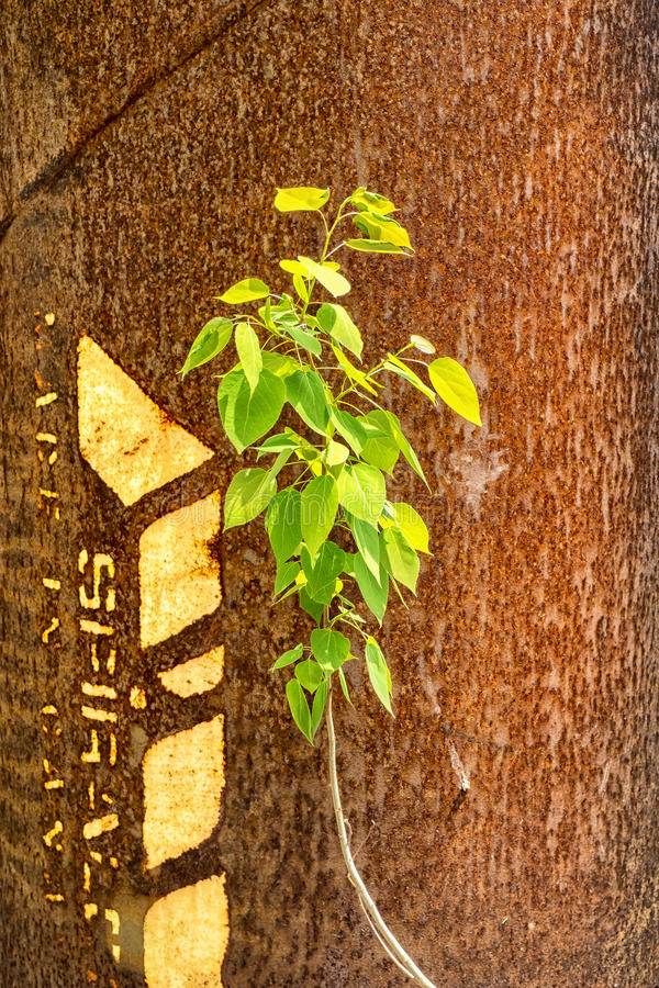 Small tree. Growing in front of a metal rusted steel pipe royalty free stock photo