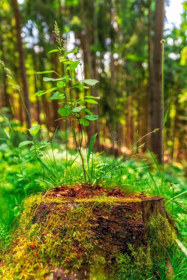 Small tree growing out of a stump royalty free stock photos