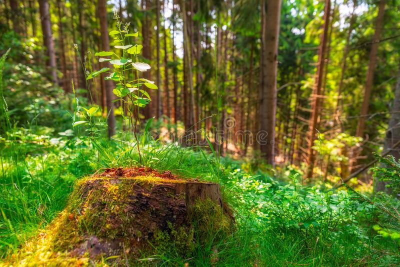 Small tree growing out of a stump stock images