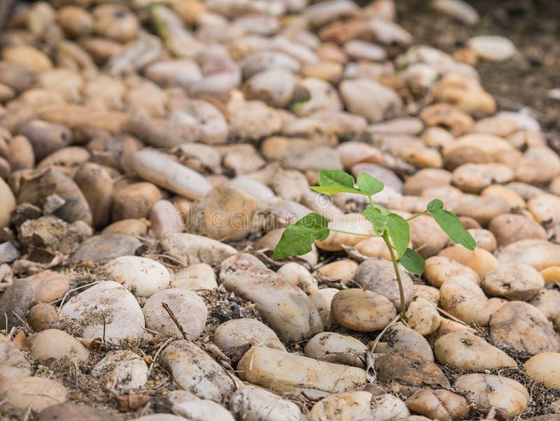 Small tree growing among stack of small rocks. stock photo