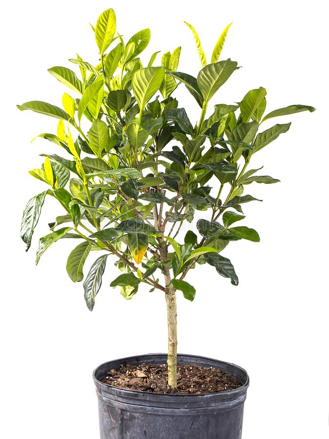 Small Tree Isolated On White. Small, potted tree isolated on white stock photos