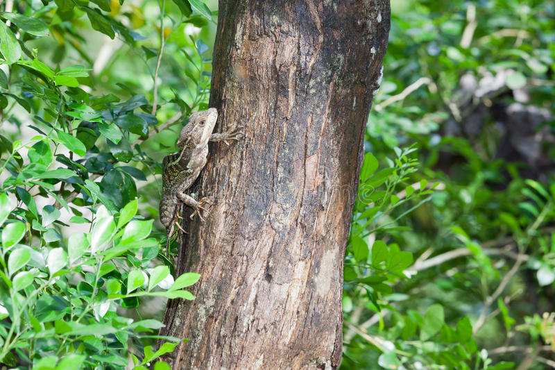Small Tree Lizard. A small brown and green patterned lizard climbing up a tree in search of food in the Cayo District of Belize royalty free stock photo