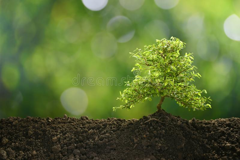 Small tree in the morning light growing. Out from soil royalty free stock images
