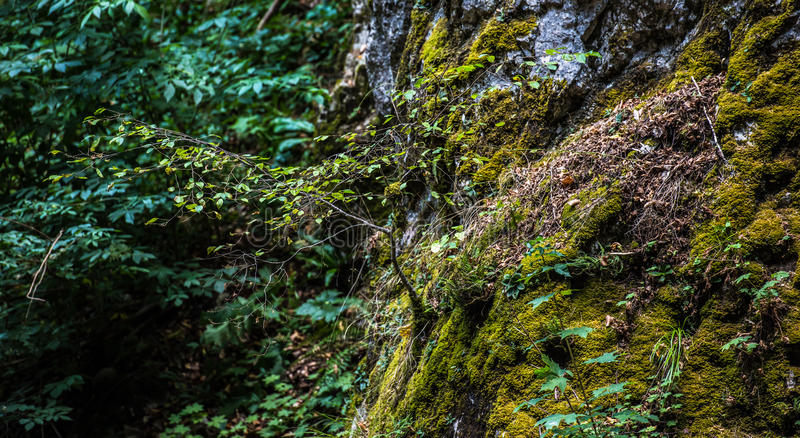 Small tree and moss. A small lush green tree with beautiful fresh green leaves and growing on the side of a mountain rock hill wall amounts green moss, grass and royalty free stock photo
