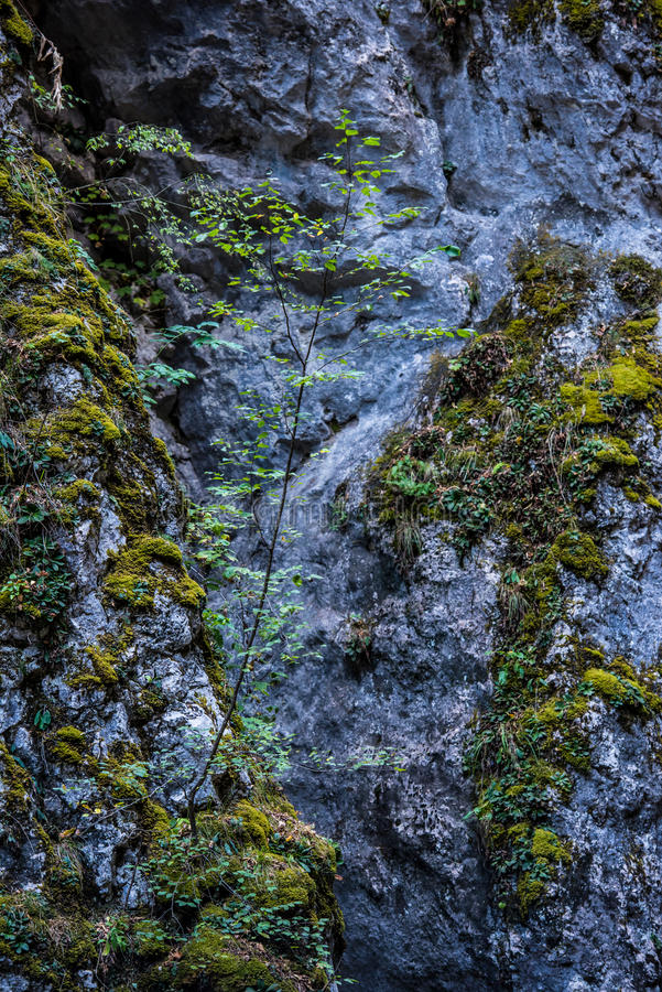 Small tree and moss. A small lush green tree with beautiful fresh green leaves and growing on the side of a mountain rock hill wall amounts green moss, grass and stock image