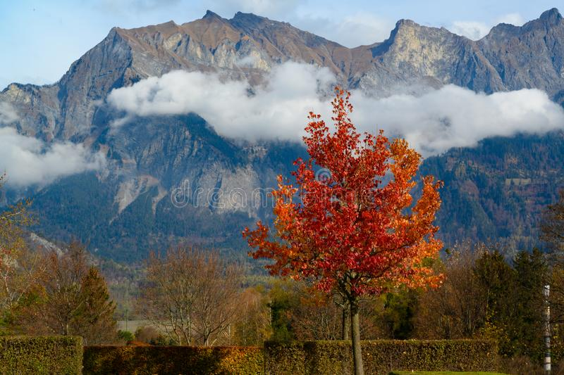 Small maple tree with orange leaves in autumn in front of small cloud and Swiss Alps. Fog hanging on Swiss Alps behind small acer tree with orange leaves in royalty free stock photos