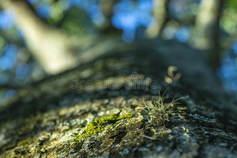A small tree plant growing on green moss and tree. Parasitic plant. Space to add blurred moss background text. Young, young, fresh and relax the concept of royalty free stock image