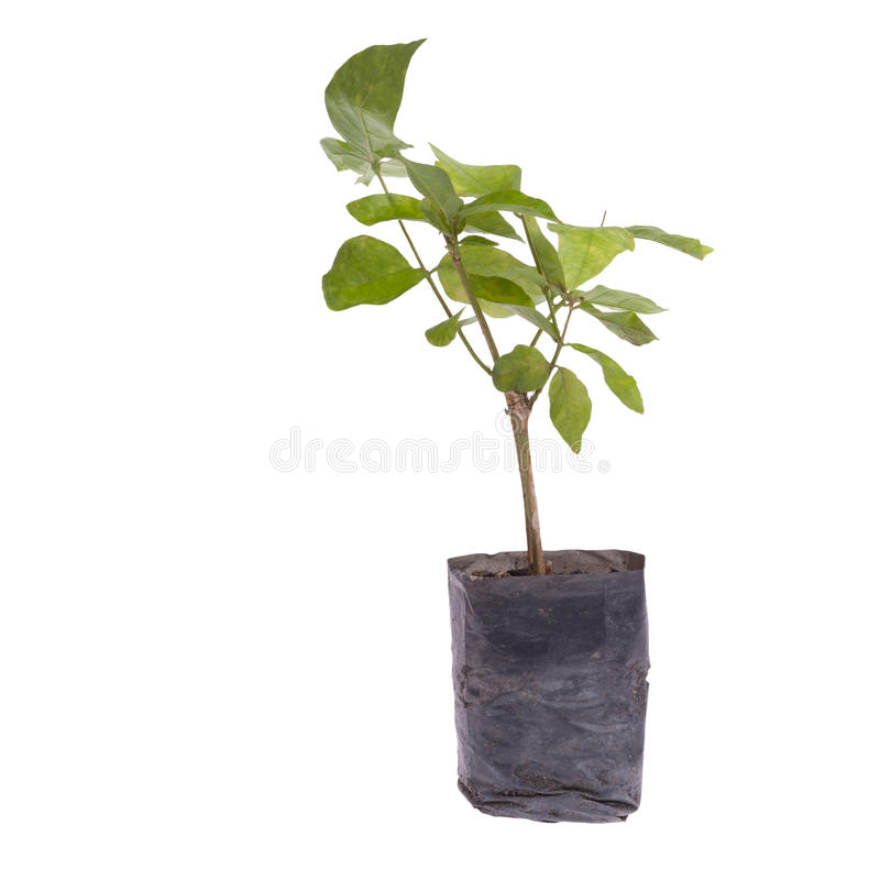Small tree in planting bag royalty free stock image