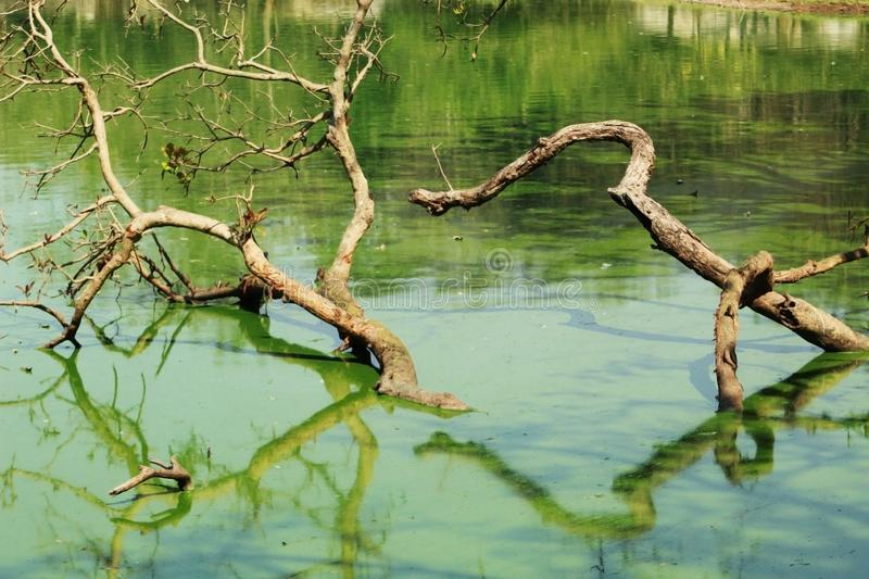 Small tree in a pond. With green color water royalty free stock images