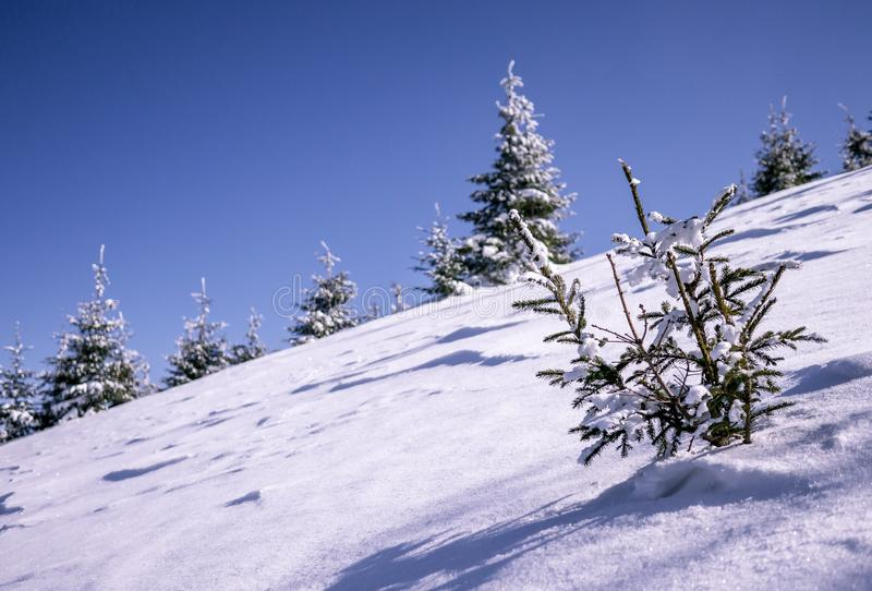 Small tree in snow. With another trees in background royalty free stock images