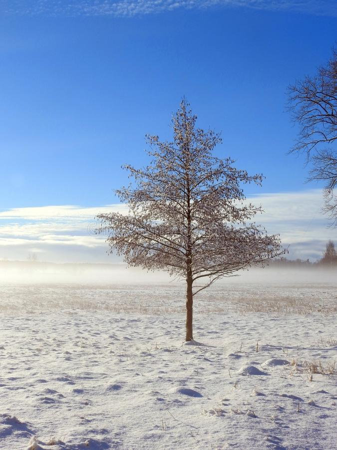 Small tree in snowy field, Lithuania royalty free stock photography