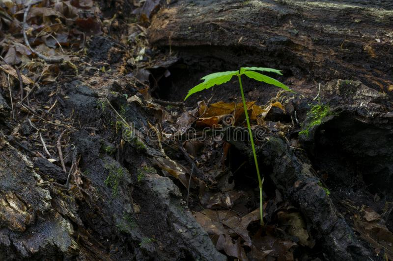 Small tree sprouts on a fallen log. A small seedling sprouts in the rotting wood of a large fallen tree in the forest with the textures of the decaying wood and royalty free stock images