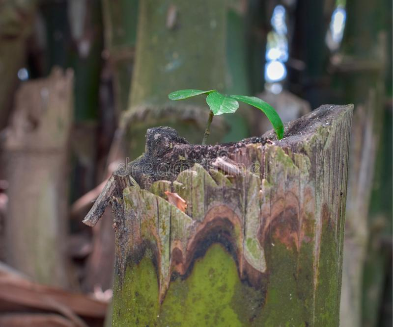 A small tree is grown on the tree. A small tree is standing on the tree, in a new life, in a bamboo tree storm stock images