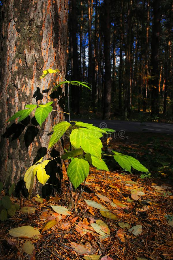 A small tree in the sunlight in the woods. A ray of light made his way through the thick dark crowns of trees illuminated a small plant. The sprout of a young stock images