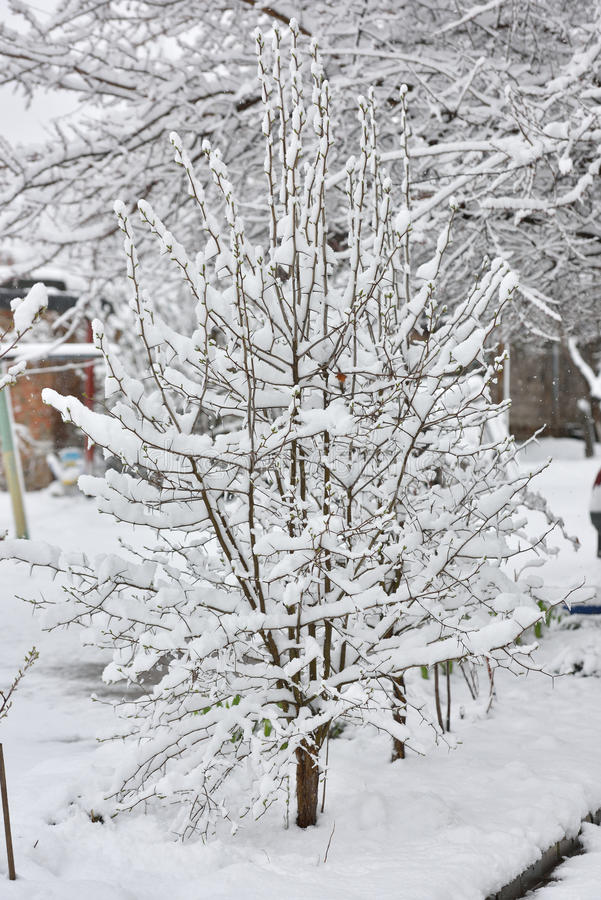 A small tree under snow in April.  stock images