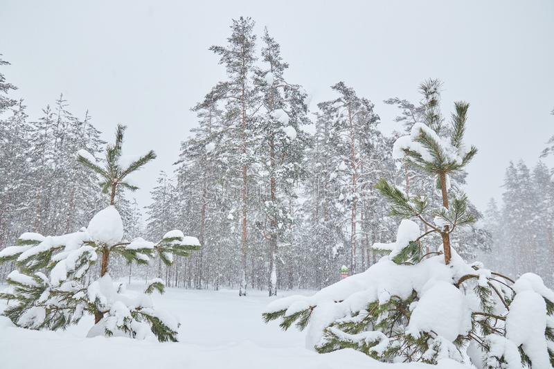 Small trees in snow-covered forests. little Christmas tree in the snow. Snow. snowy weather outside the city royalty free stock photos