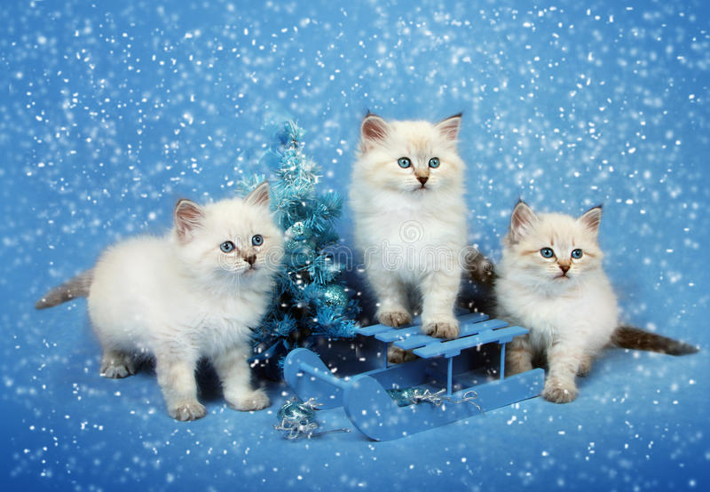 Small trio kittens on sledge and xmas tree. Small siberian kittens on sledge and Christmas tree on blue background with snowstorm, winter postcard royalty free stock images
