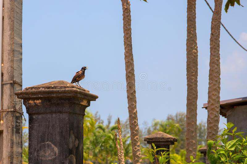 Small tropical bird on stone column in green park. Birdwatching photo. Singing myna at the old rustic pillar. Small tropical bird on stone column in green park stock photo