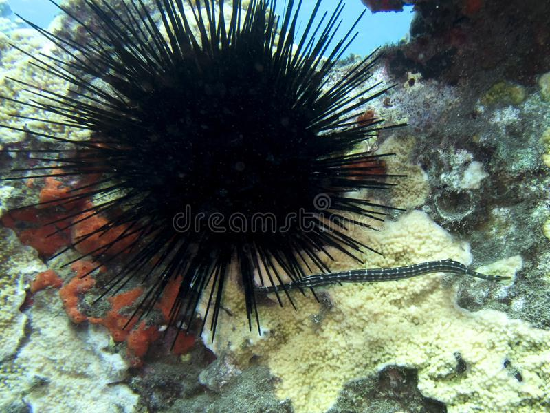 Small Tropical Pipefish with Sea Urchin on Coral Under Water stock images