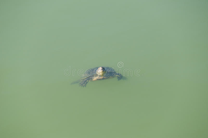 Download Small turtle stock image. Image of ocean, shell, endangered - 13146259