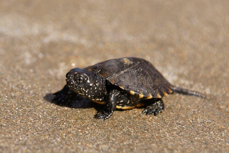 Small turtle on Zakynthos Gerakas beach in Greece stock photography