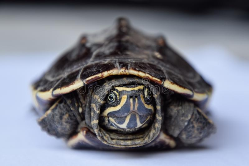 A small turtle is staring at the camera, Thai animal, Cute photo stock