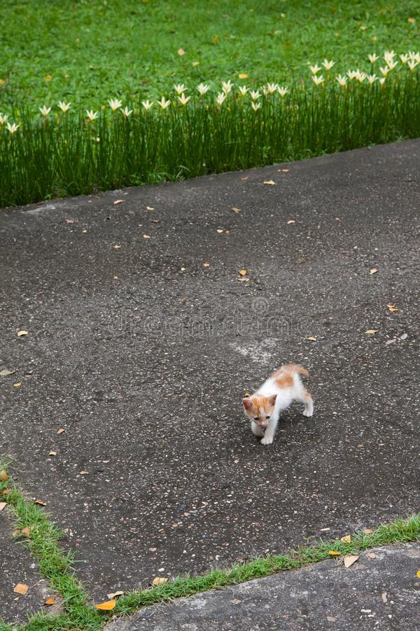 Small two months kitten first walking on backyard with grass and flower stock image