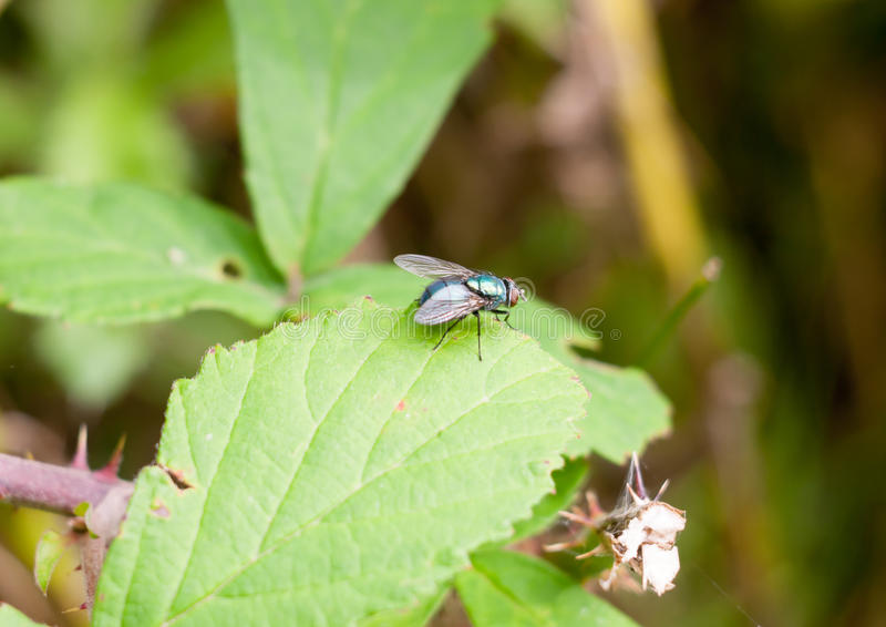 small ugly green fly on leaf Common green bottle fly Lucilia sericata royalty free stock photos