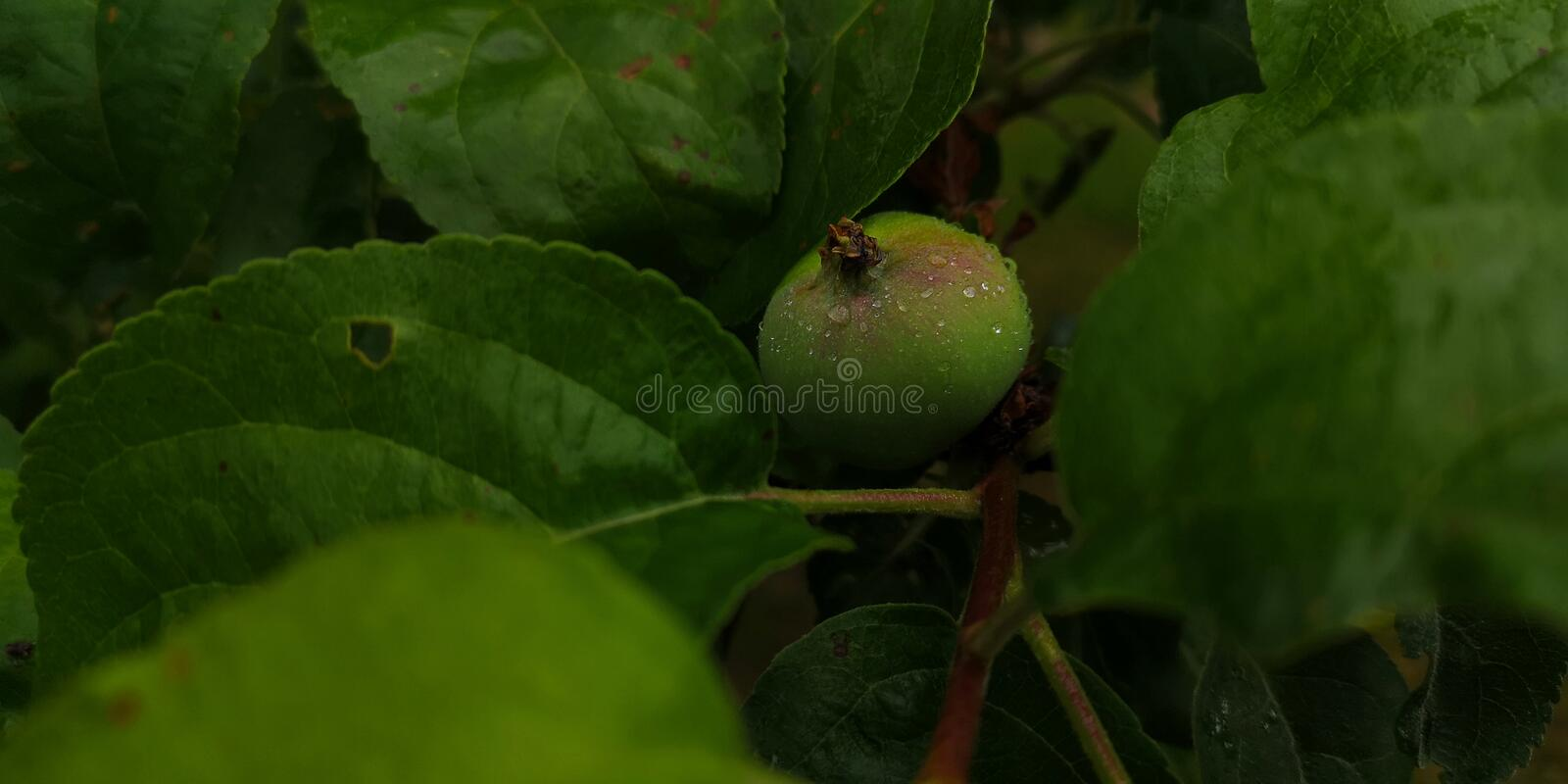 Small unripe green apple with rain drops. On a branch of an apple tree royalty free stock photography
