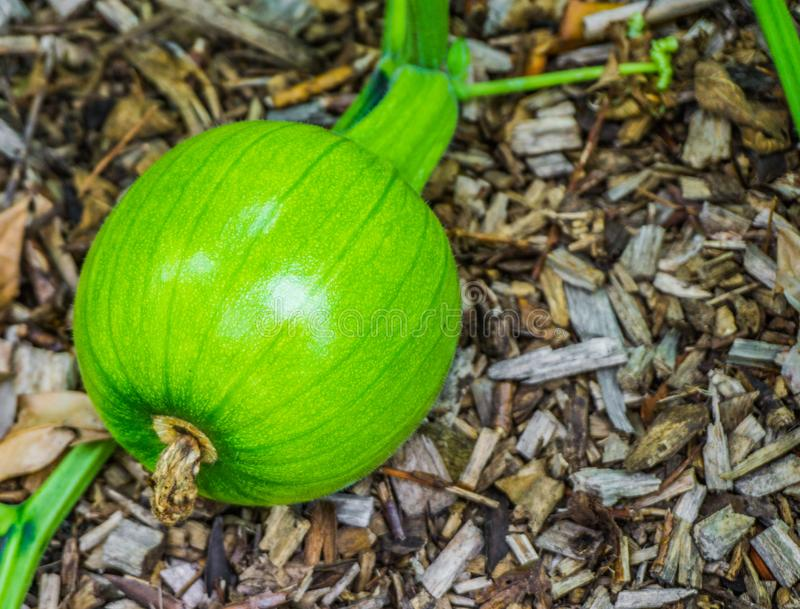 Small unripe pumpkin growing on pumpkin plant royalty free stock image