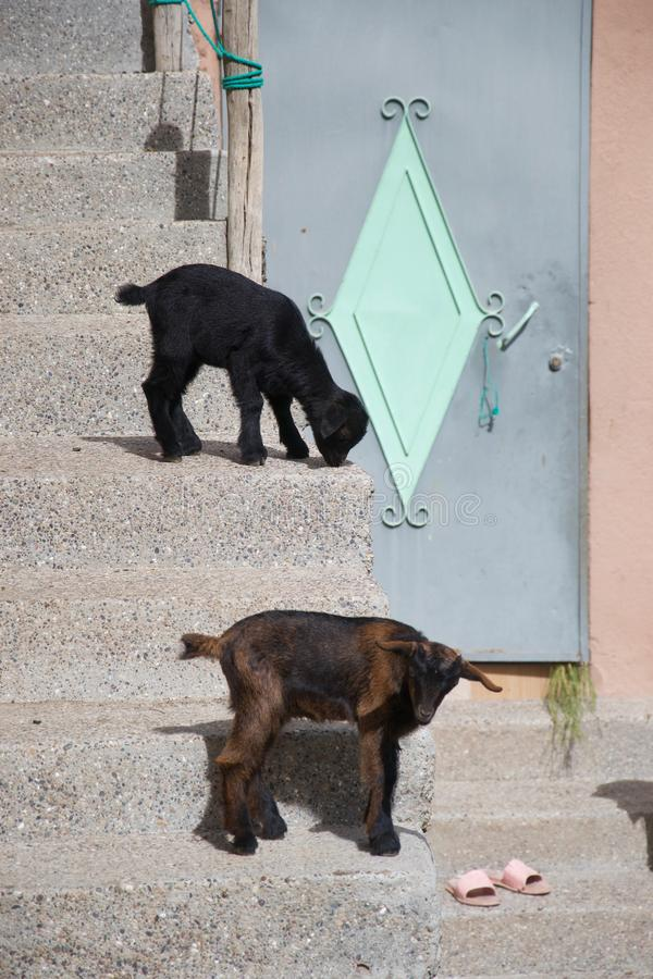 Small urban goats outside a door. Two baby goats wait on a staircase outside a pastel coloured door with flip flops on the threshold royalty free stock images